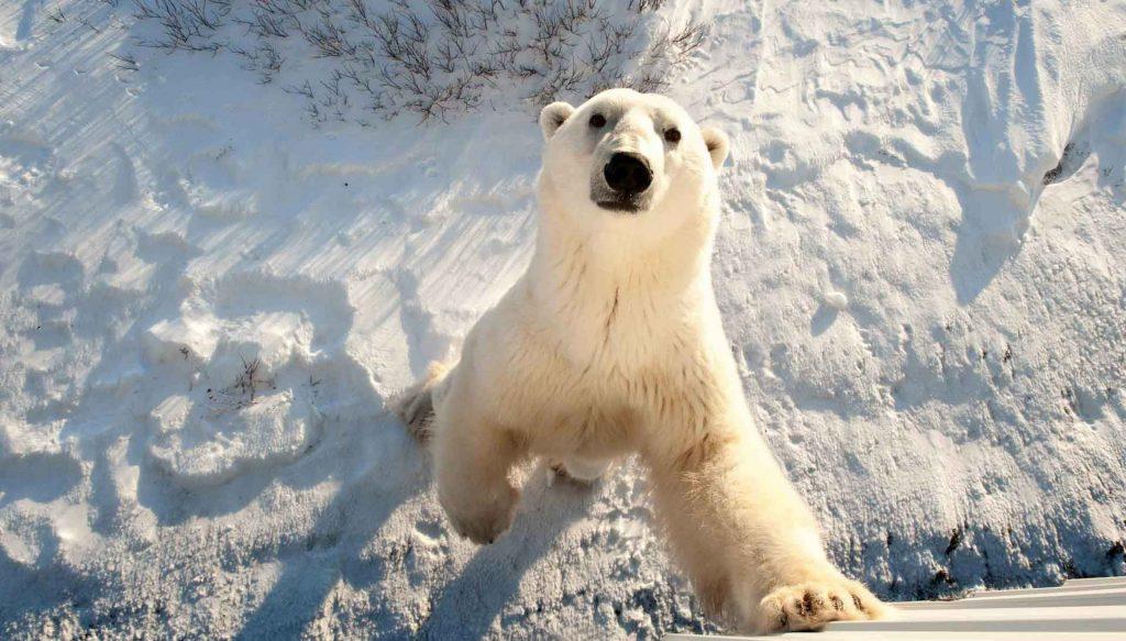 Сибирский супер-зверь – Белый медведь
