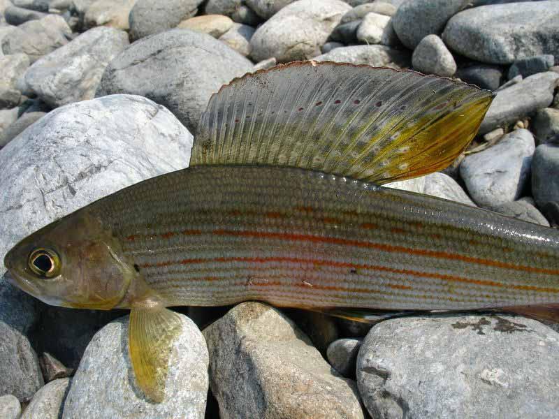 Сибирский хариус – рыбацкая мечта