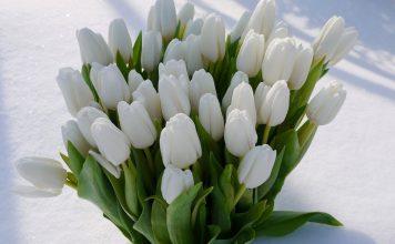 Сибирские тюльпаны к 8 марта