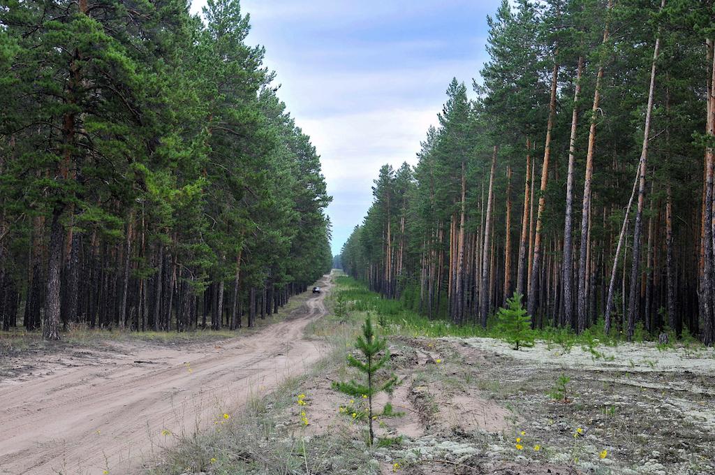 Ленточные боры Сибири: сокровище под боком
