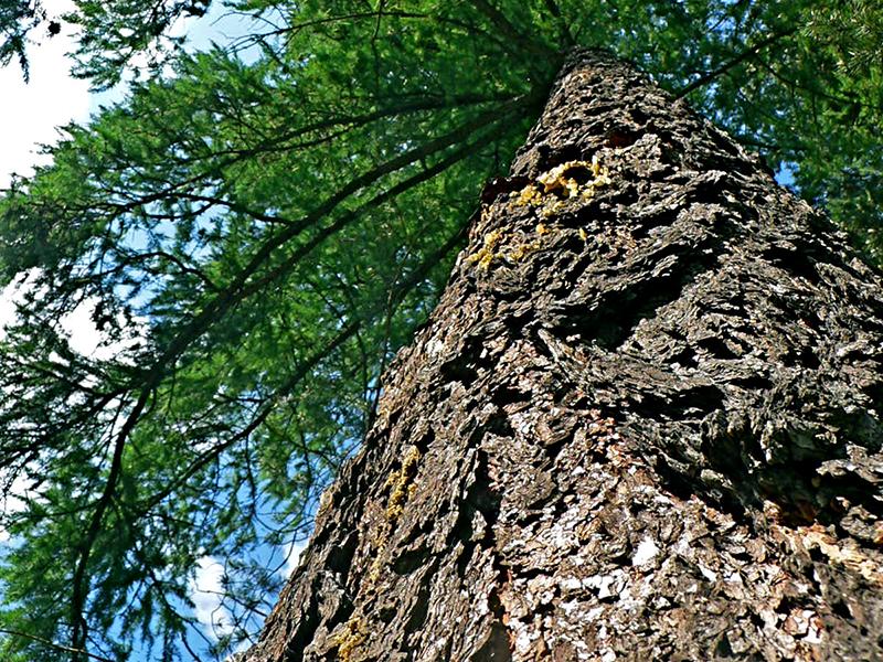 Сибирская лиственница: хвойная легенда