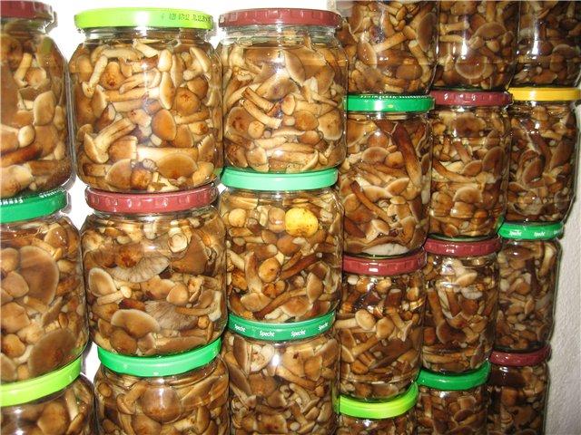 Осенние опята – долгожданный трофей Сибирских грибников