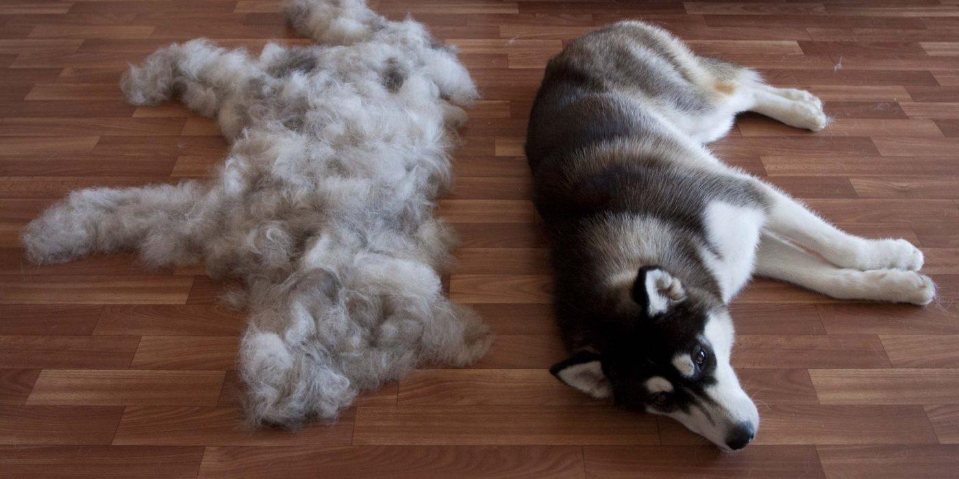 Ласковый волк – Сибирский хаски