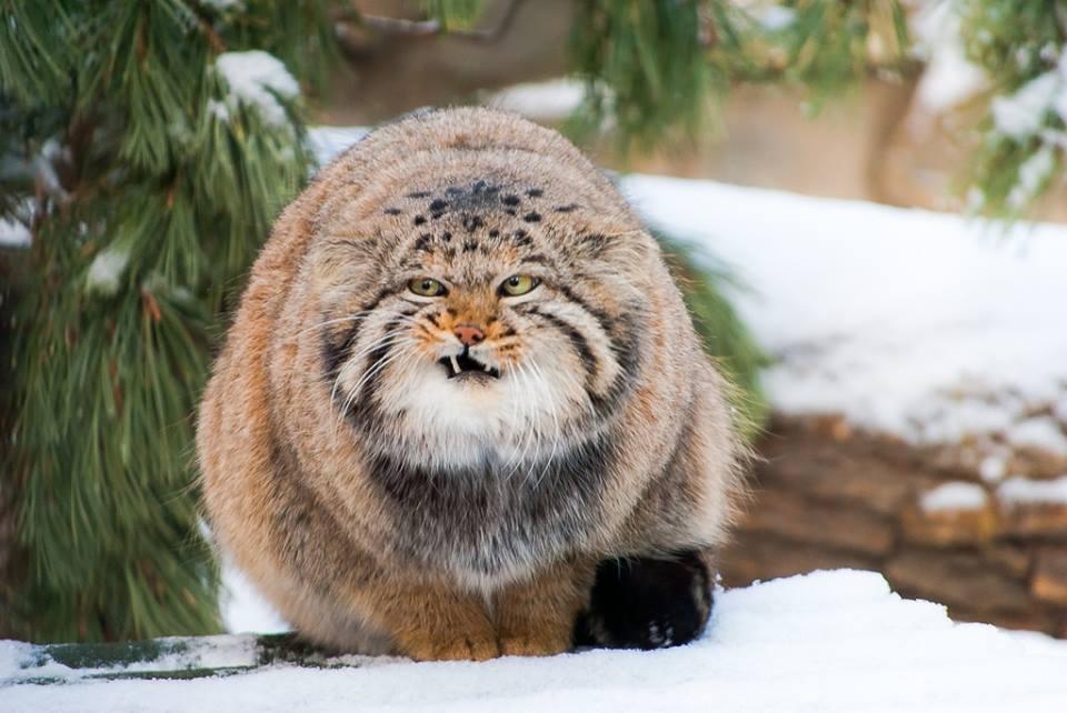 Манул – дикий сибирский кот