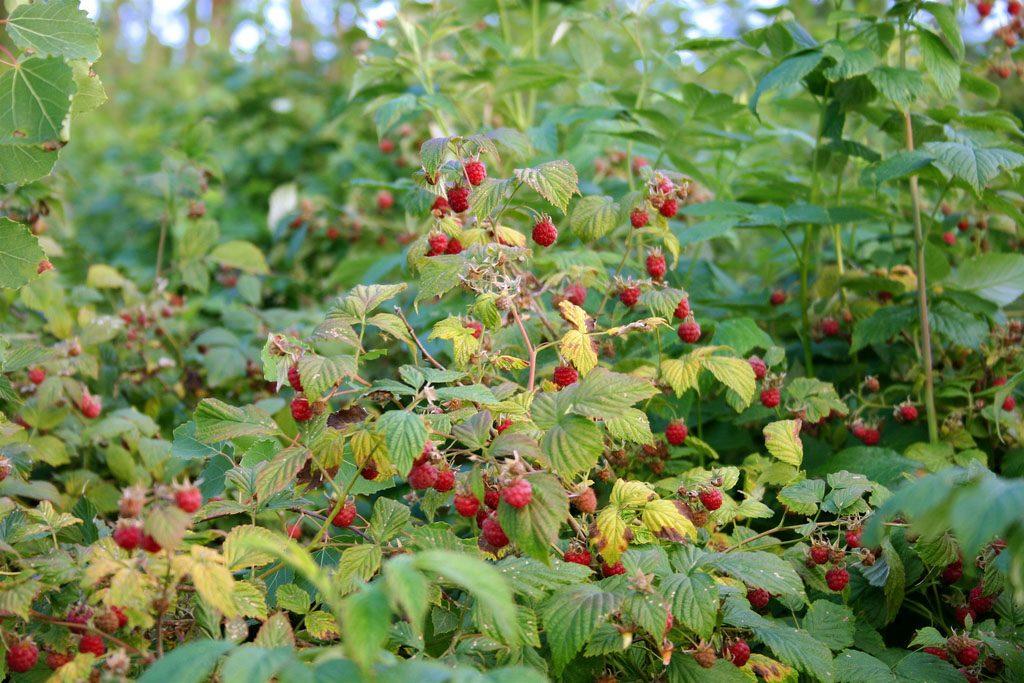 Самые полезные и вкусные ягоды сибирской тайги