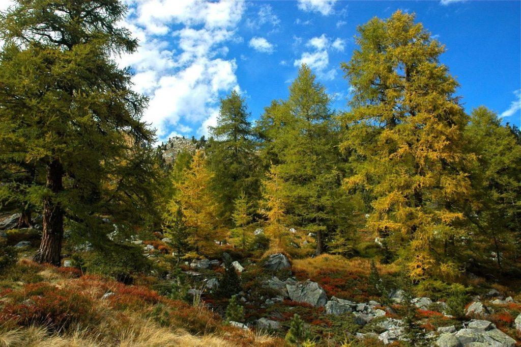 Железное дерево – сибирская лиственница