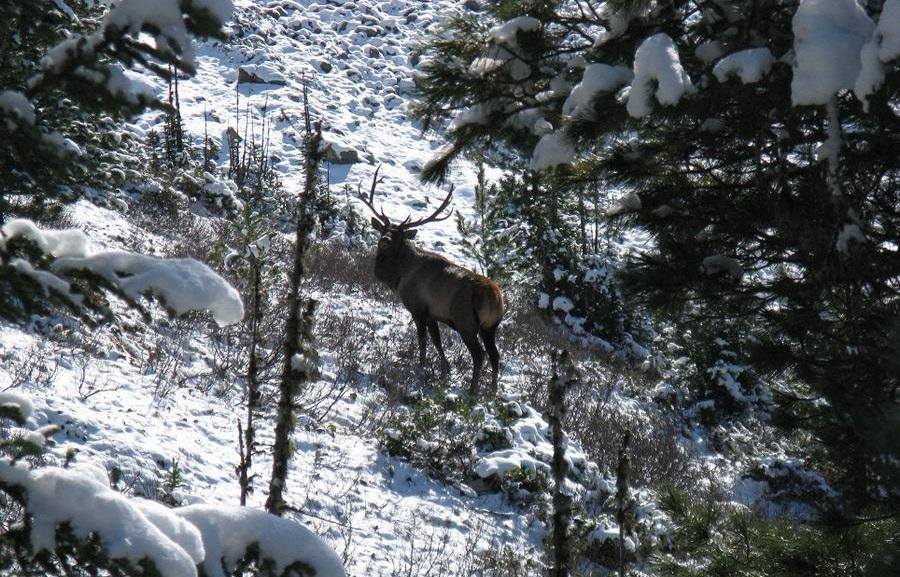 Марал – благородный сибирский олень